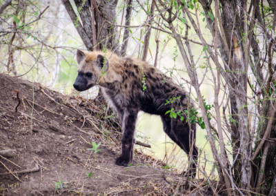 David Olimpio Photography: South Africa Safari - Hyena