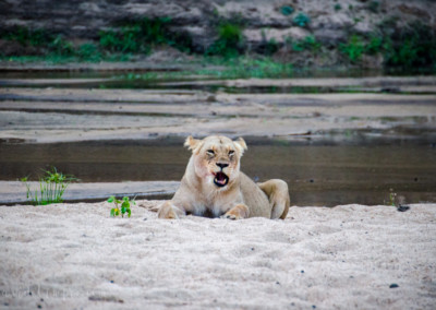David Olimpio Photography: South Africa Safari - Lion