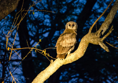 David Olimpio Photography: South Africa Safari - Owl