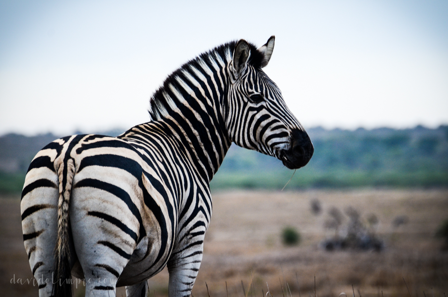 David Olimpio Photography: South Africa Safari - Zebra