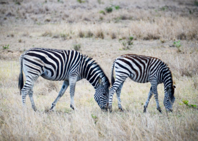 David Olimpio Photography: South Africa Safari - Zebras