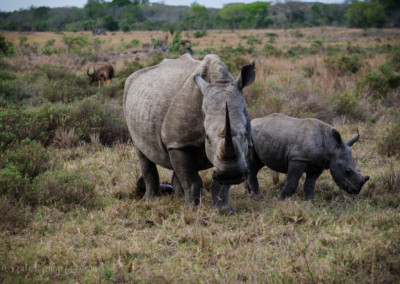 David Olimpio Photography: South Africa Safari - Rhino