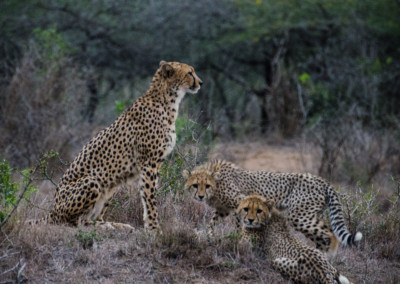 David Olimpio Photography: South Africa Safari - Cheetah