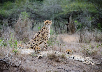 David Olimpio Photography: South Africa Safari - Cheetah Mother with Cubs