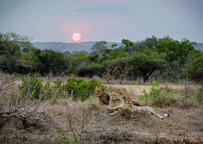 David Olimpio Photography: South Africa Safari - Cheetah Mother with Cubs and Sunset