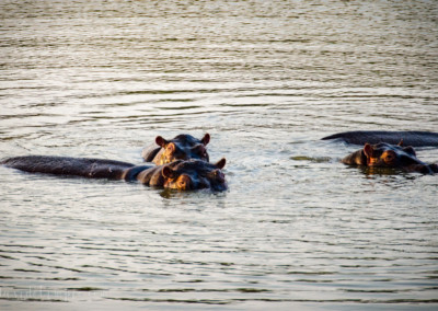 David Olimpio Photography: South Africa Safari - Hippo