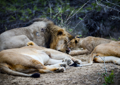 David Olimpio Photography: South Africa Safari - Lions