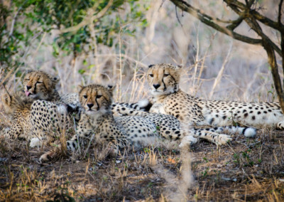 David Olimpio Photography: South Africa Safari - Cheetah Mother and Cubs