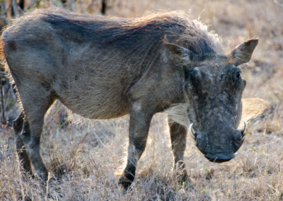 David Olimpio Photography: South Africa Safari - Wild Boar