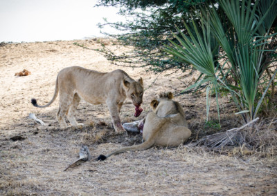 David Olimpio Photography: South Africa Safari - Lions Feeding