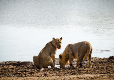 David Olimpio Photography: South Africa Safari - Lions Drinking