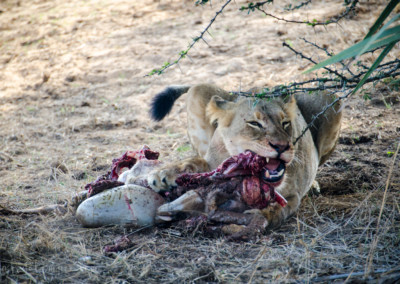 David Olimpio Photography: South Africa Safari - Lion Feeding