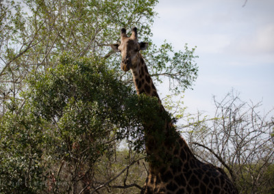 David Olimpio Photography: South Africa Safari - Giraffe