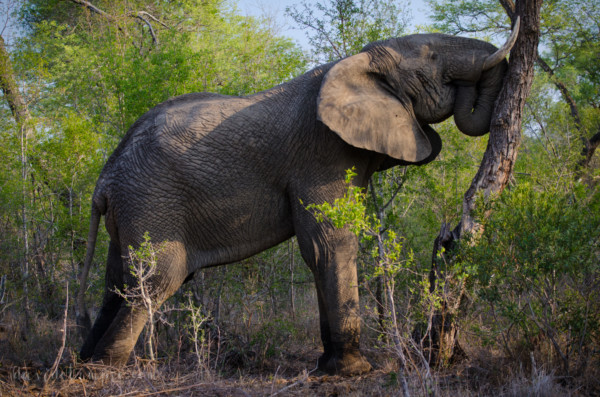 David Olimpio Photography: South Africa Safari - Elephant
