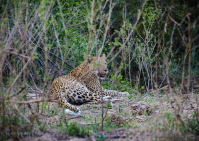 David Olimpio Photography: South Africa Safari - Leopard