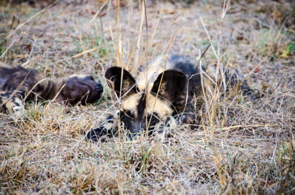 David Olimpio Photography: South Africa Safari - Wild Dogs