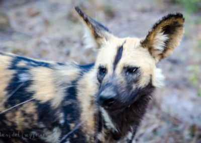 David Olimpio Photography: South Africa Safari - Wild Dog